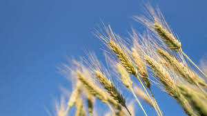 barley is surprisingly health for you