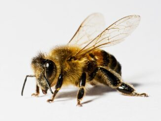 bee pollen, especially of the right variety, can have amazing health benefits
