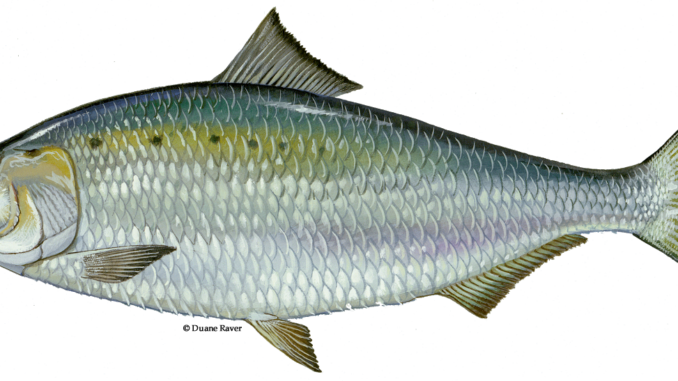 fish is an excellent source of omega 3 fatty acids which are essential for good health