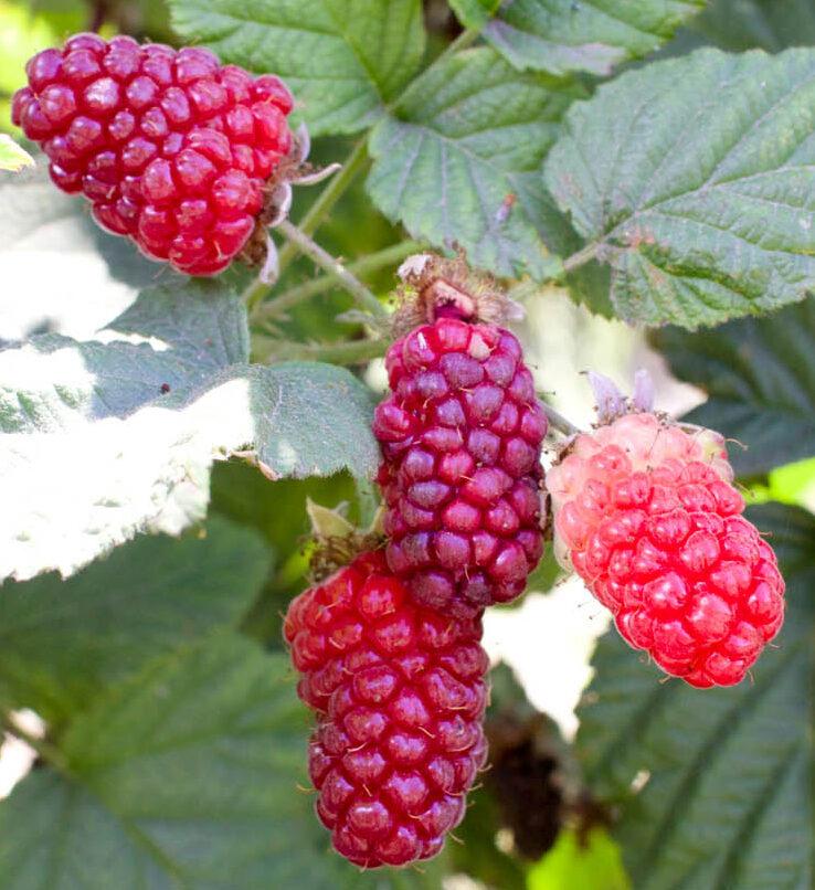 tayberries are strange berries
